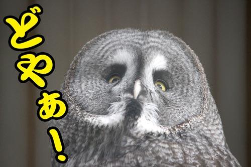 フクロウのドヤ顔