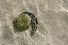グリーン島のナマコ
